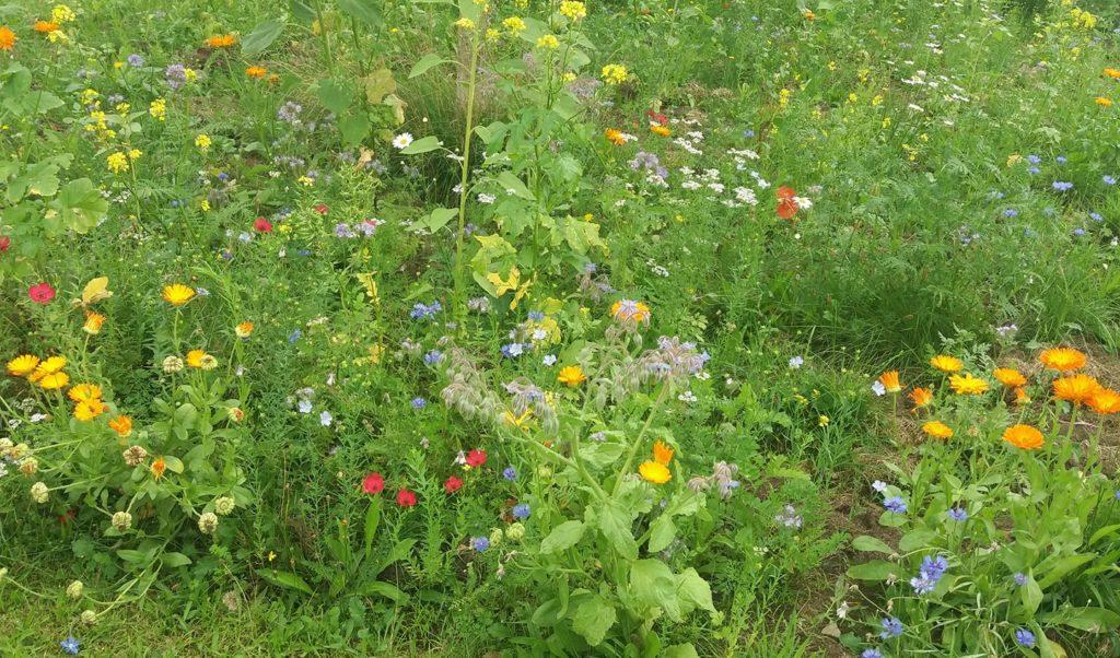Blühwiese bei Ramona, angelegt im Rahmen von Blumiges Melle (Foto von Ramona Weber)