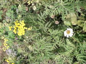 Rainfarn und Margerite