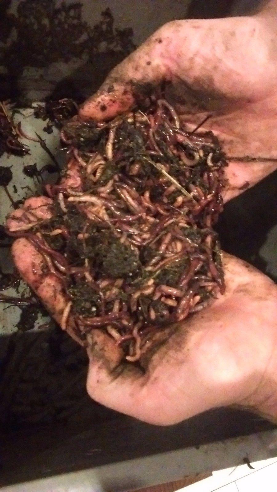Kompostwürmer kompostwürmer gartenwürmer 1 kg gug umweltschutz und lebenshilfe